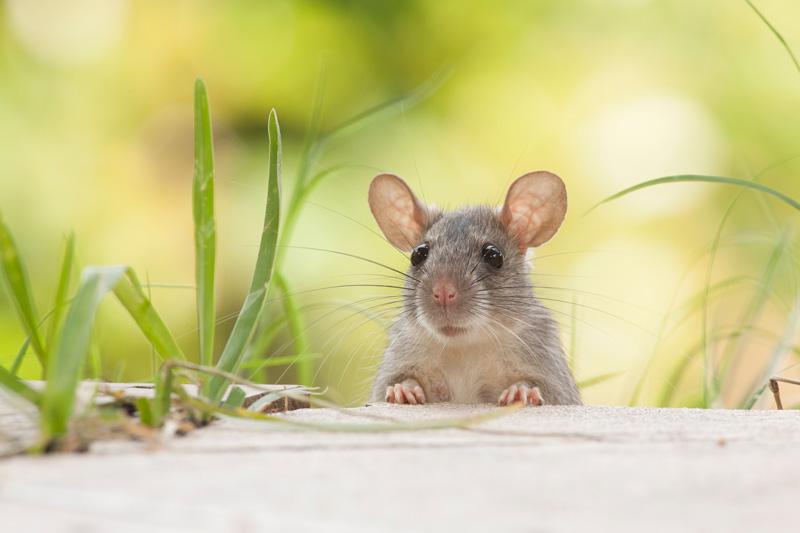 Rat in Field